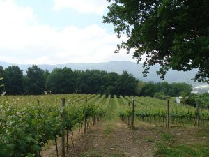 Txakoli vineyards of Bizkaia.