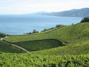 Vineyards on the coast of Gipuzkoa.